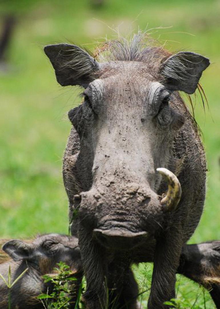 勇敢的��\_勇敢的疣猪妈妈
