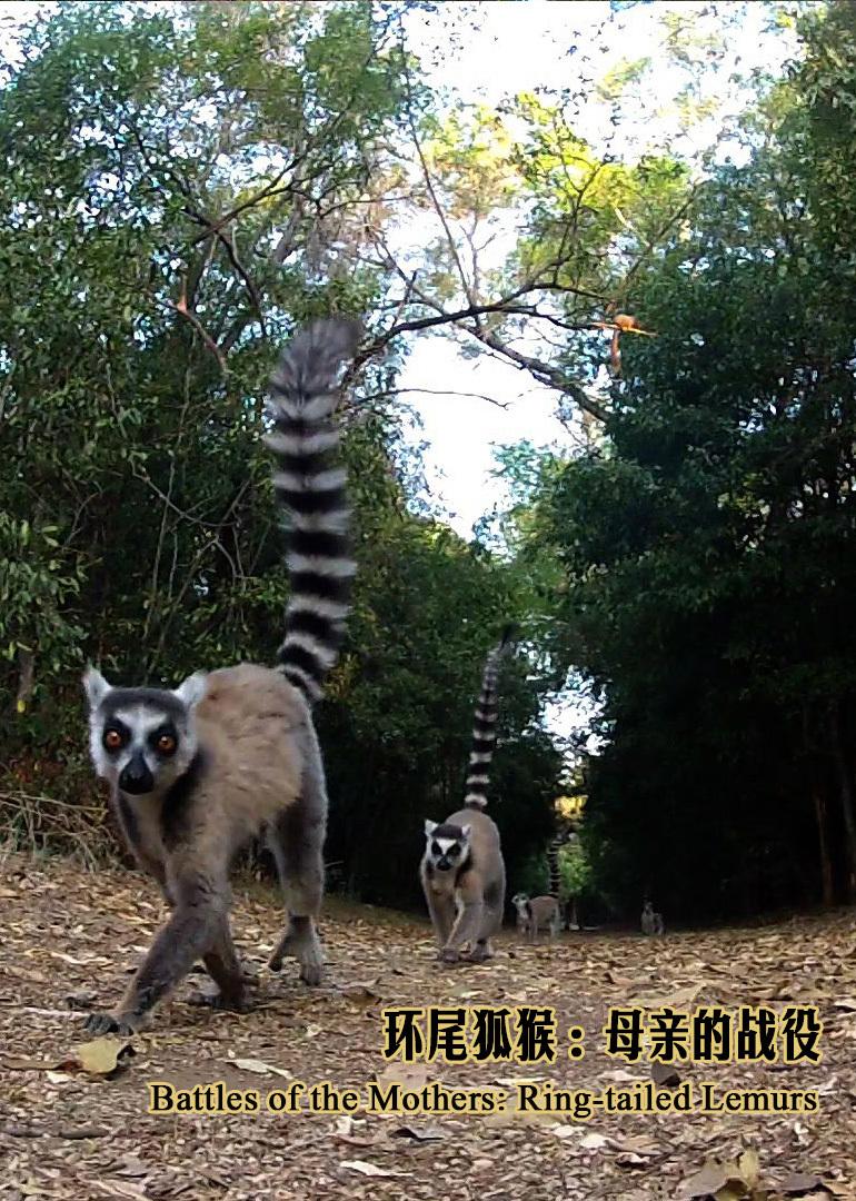 环尾狐猴:母亲的战役
