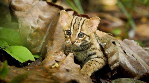 大猫:终极猎食者