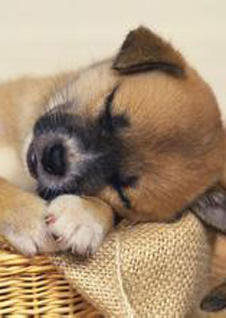 聪明的狗狗睡觉不忘盖被子